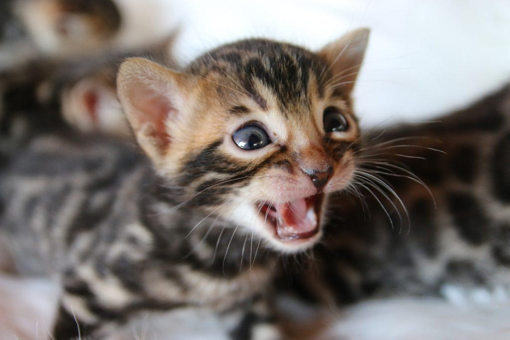 Bengal Cats for sale in Oklahoma   LunaKatz Bengals